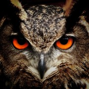 owl-bird-eyes-eagle-owl-86596